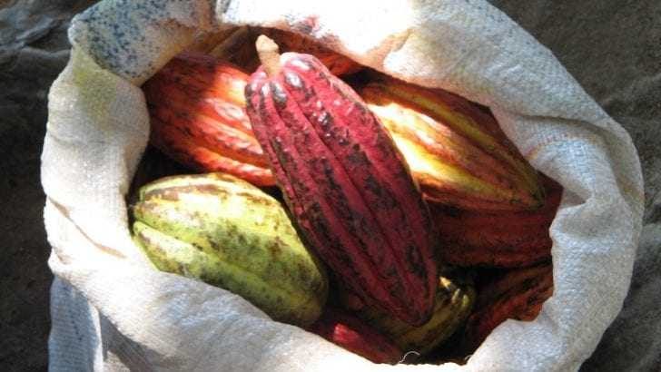 El gobierno de Canadá en colaboración con el sector privado apoya a los productores de cacao colombianos para fortalecer sus emprendimientos agrícolas
