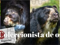 Los osos de Corpoamazonía
